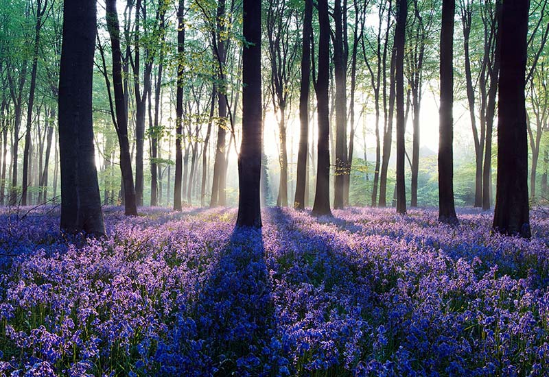 Sunlight shining through trees in a bluebell wood