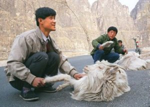 Nepalese goat herdsmen with Capra Hircus mountain goats