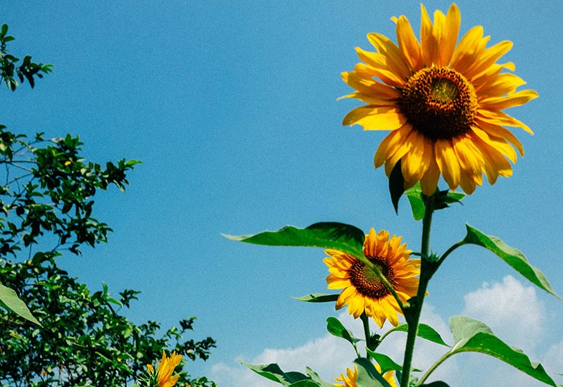 Blossoming sunflowers and blue summer sky