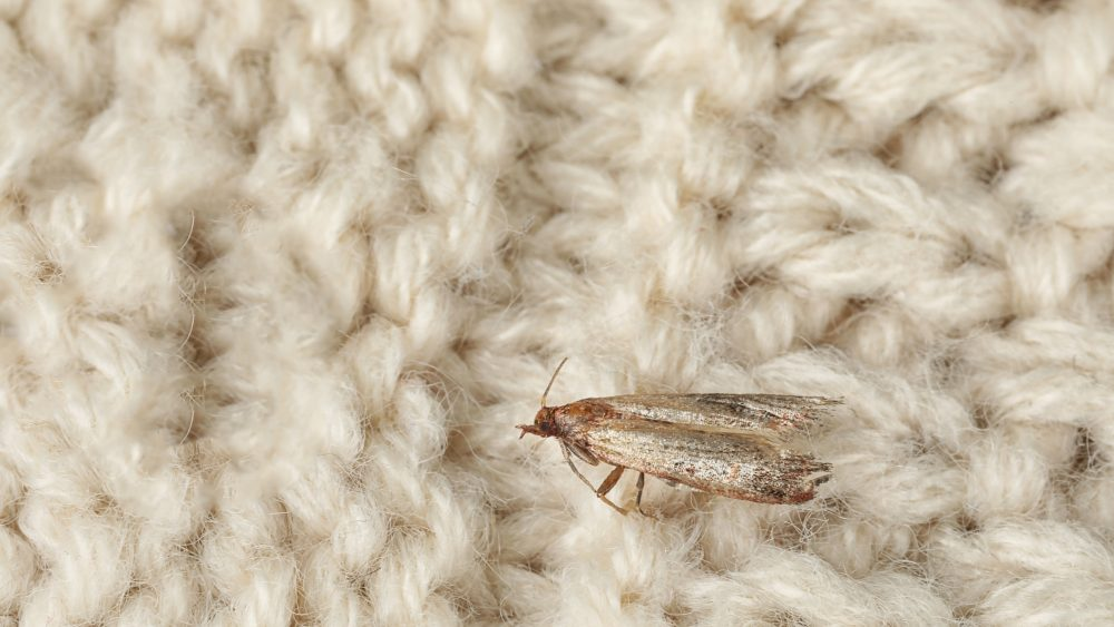 Common clothes moth | TWC