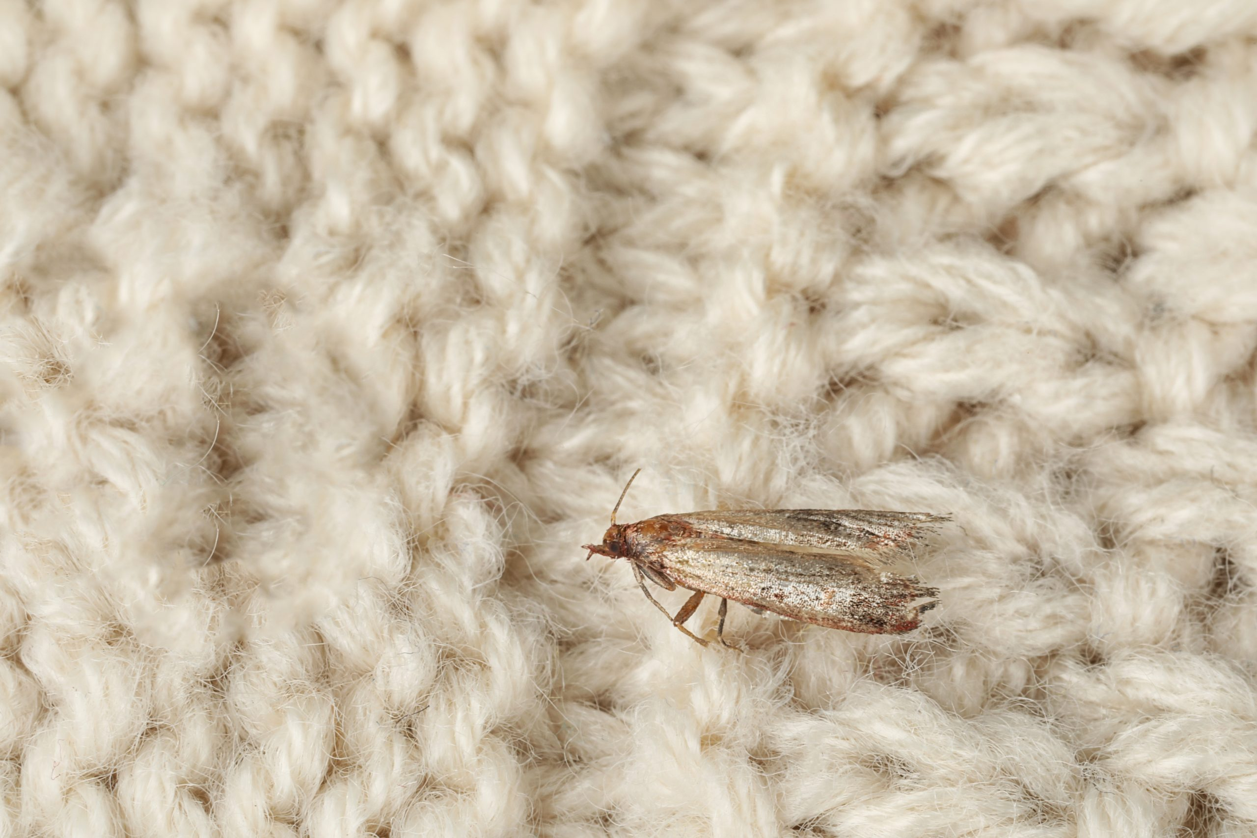 Common clothes moth (Tineola bisselliella) on beige knitted fabric | Total Wardrobe Care