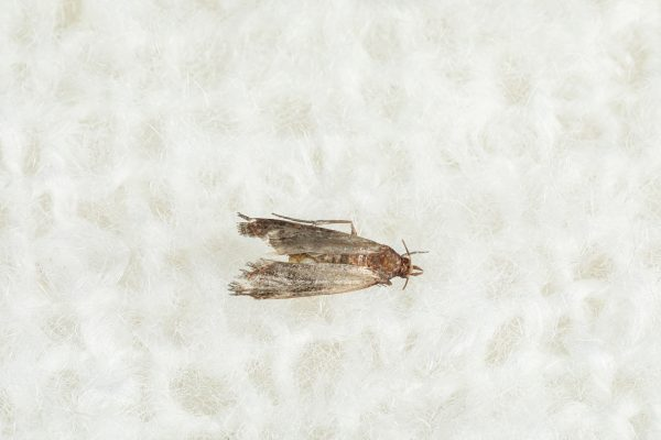 clothes moth against white background