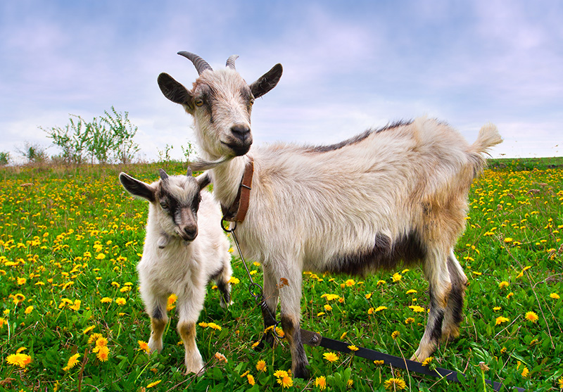 goat and kid standing in grassy field