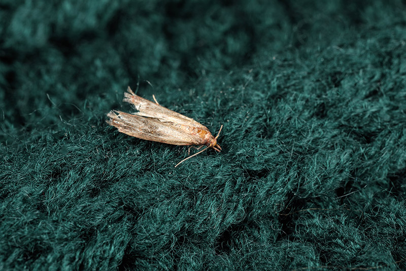 Close up of a common cloths moth on green knitted fabric